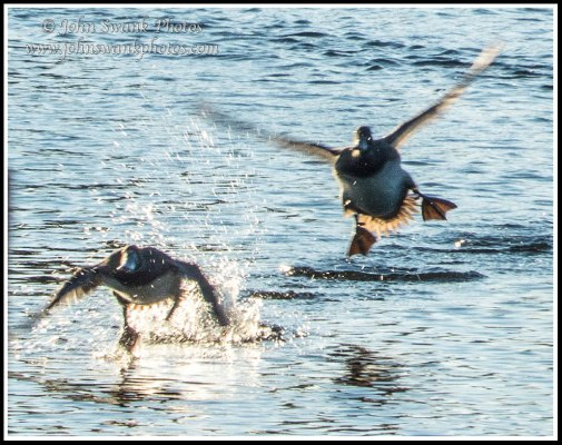 Incoming ducks, backyard lake