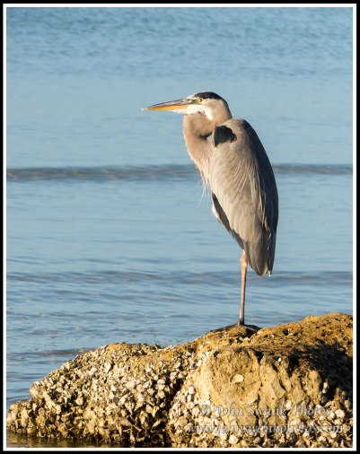 Great Blue Heron at Bunche Beache