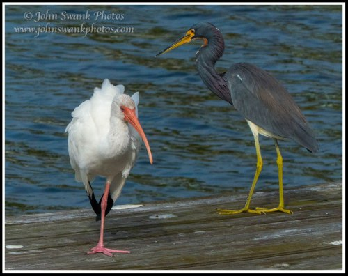 Ibis and tricolor on dock