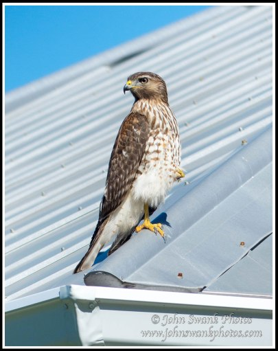 Hawk on neighbor's roof