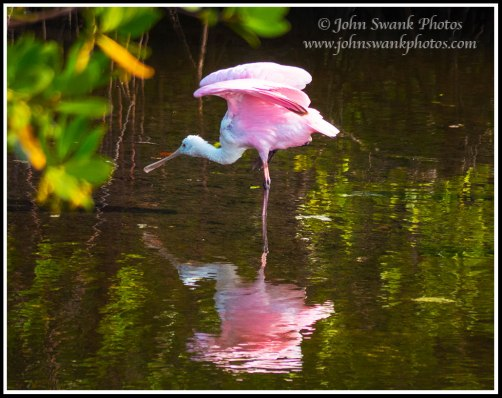 Roseate Spoonbill near Bunche Beach